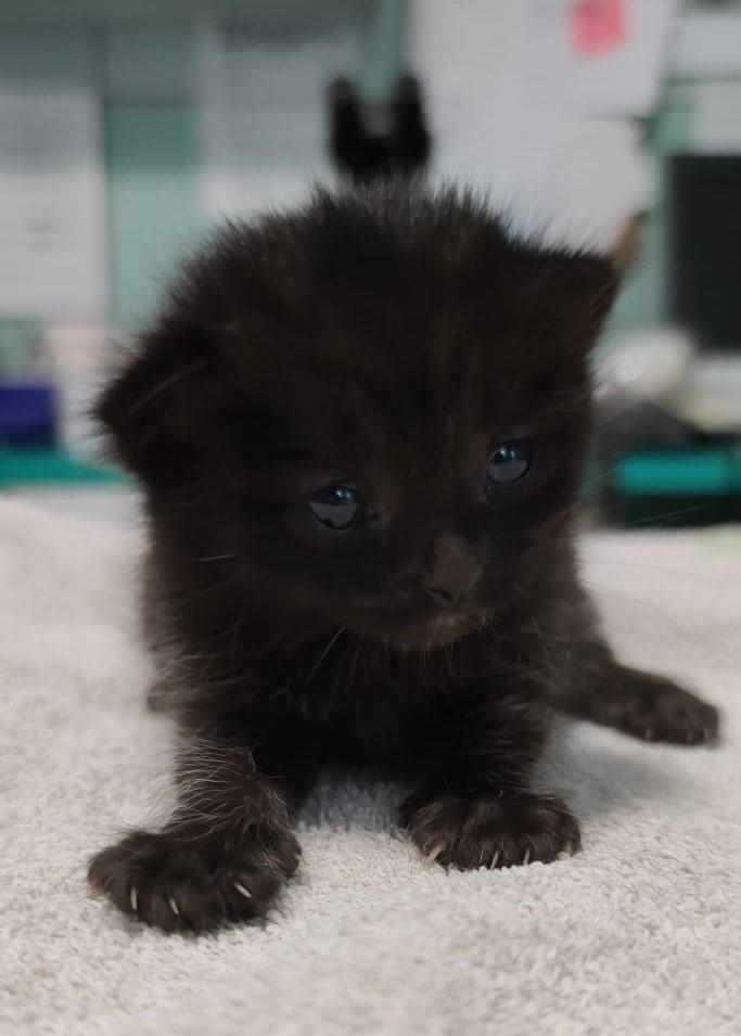 gattino 1