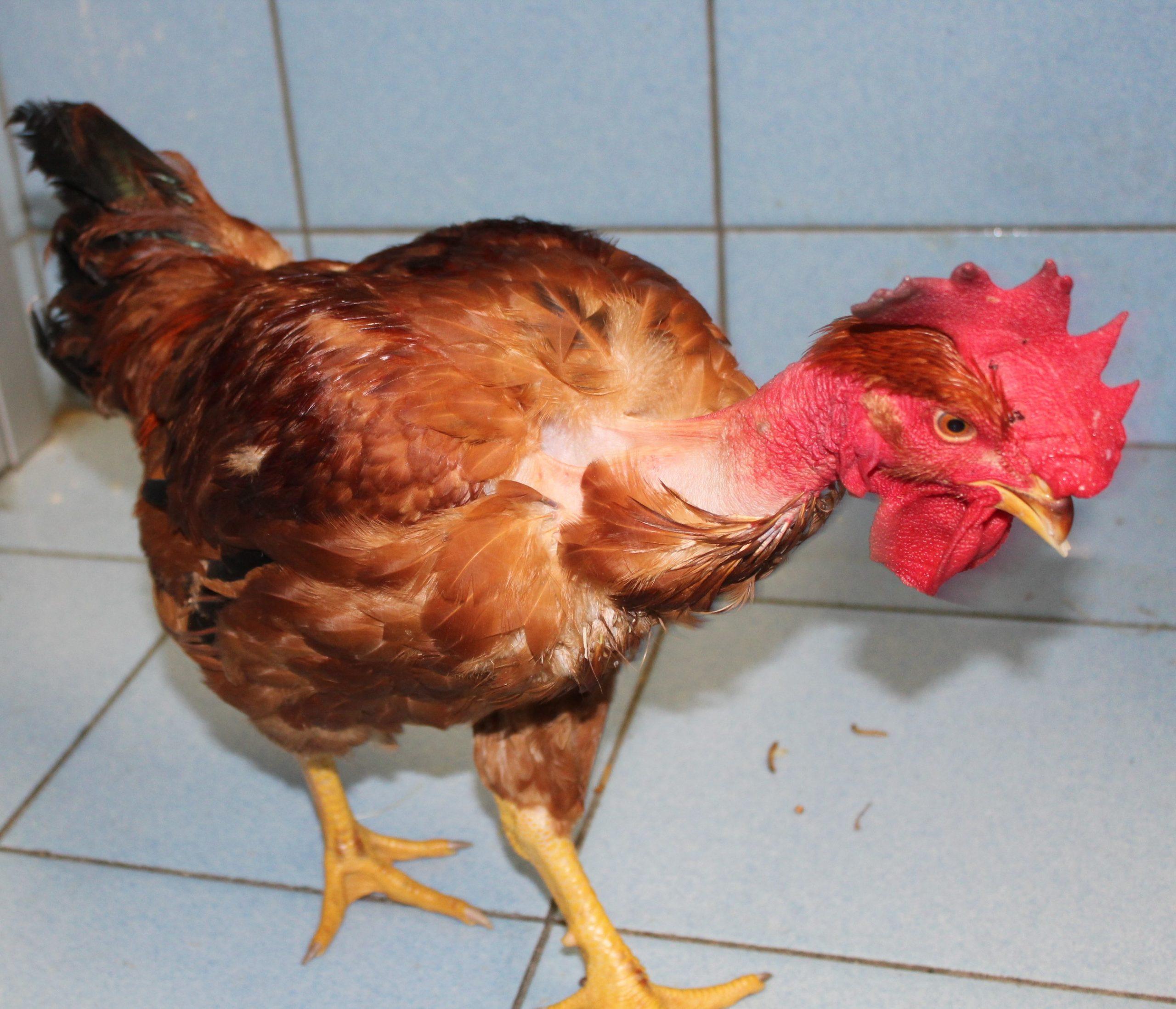 gallo 8