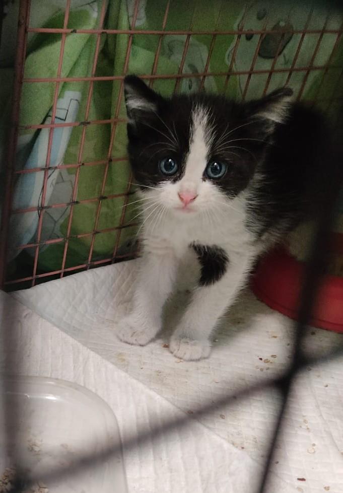 gattino 3