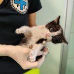Altro gattino incastrato nel vano motore di un'auto, soccorso da ENPA Milano