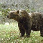 Revocata l'ordinanza di cattura degli orsi del 27 agosto. Enpa: Abbiamo vinto!