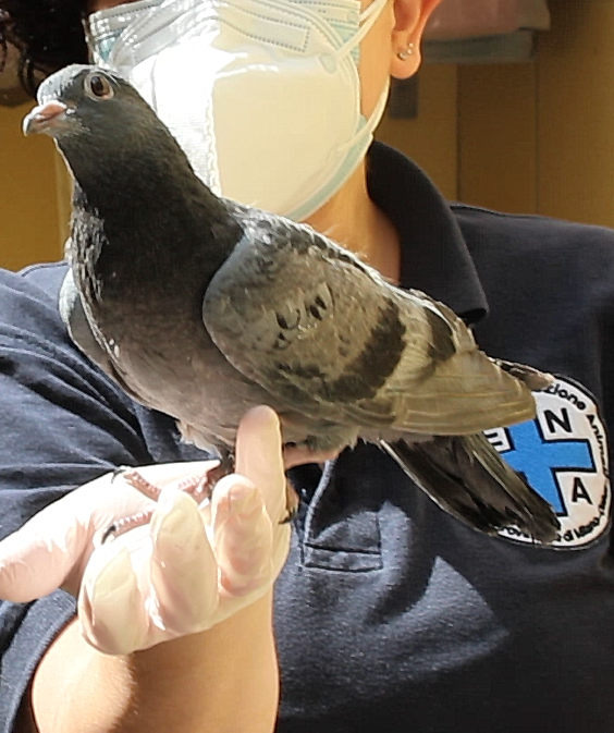 piccione da video