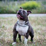 """Articolo di Ermanno Giudici: """"Pitbull usato come fosse un'arma: ennesimo episodio di utilizzo criminale di un cane"""""""