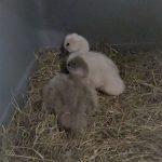Due pulcini di cigno abbandonati dai genitori soccorsi e curati da ENPA Milano
